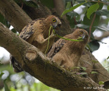 Owl, Buffy Fish (adult & juvenile) @ Botanic Gardens
