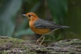 Thrush, Orange Headed @ Botanic Gardens