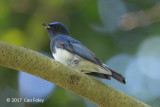 Flycatcher, Blue-and-White (male) @ Dairy Farm