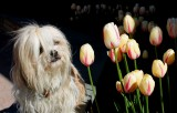Yuji the Lhasa getting in touch with his tulip nature