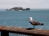 Pier 41 seagull