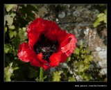 Poppy, Snowshill Manor