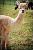 Bluebird farm alpacas