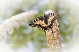Swallow tail  -  Koninginnepage