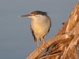 Greenbacked heron