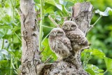 Little (baby) owls