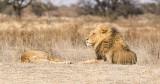 Lion + Lioness