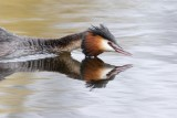 Great crested grebe  _  Fuut