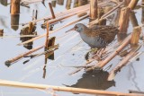 Water rail  /  Waterral