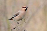 Pestvogel  /  waxwing