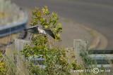 Ring-billed Gull - Larus delawarensis - Ringsnavelmeeuw