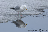 Ring-billed Gull - Larus delawarensis - Ringsnavelmeeuw 010