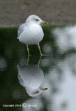 Ring-billed Gull - Larus delawarensis - Ringsnavelmeeuw 013
