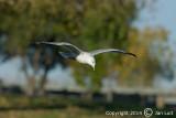Ring-billed Gull - Larus delawarensis - Ringsnavelmeeuw 014