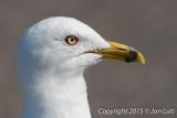 Ring-billed Gull - Larus delawarensis - Ringsnavelmeeuw 016