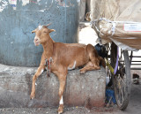 Dharavi Smiling Goat
