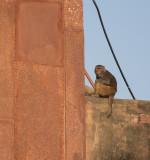 Resident Monkey