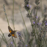 Thougth is was a humming-bird, but it was a 5 cm long insect. The wings were fast waving, but sursingly I got a picture af them!