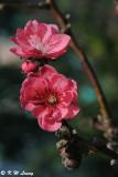 Peach blossom (桃花)