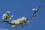 Pear blossom (李花)