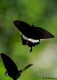 Papilio polytes (玉帶鳳蝶)