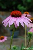 Echinacea DSC_9886