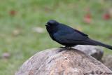 Black Drongo (大卷尾)