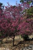 Prunus campanulata DSC_5426