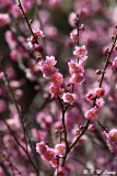 Plum blossom DSC_6310