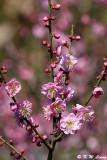 Plum blossom DSC_6258