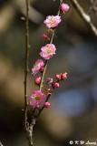 Plum blossom DSC_6335
