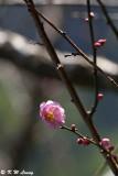 Plum blossom DSC_5306