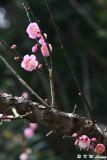 Plum blossom DSC_7061