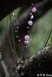 Plum blossom DSC_7190