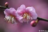 Plum blossom DSC_7122
