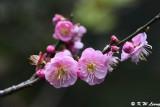 Plum blossom (梅花)