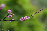 Plum blossom DSC_7173