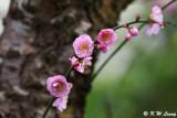 Plum blossom DSC_7243