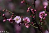 Plum blossom DSC_6256