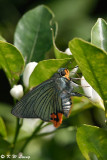 Choaspes benjaminii DSC_3525