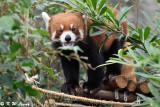 Red Panda DSC_6999