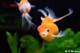 Goldfish DSC_7006