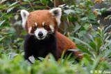 Red Panda DSC_6994