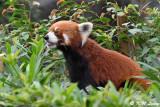Red Panda DSC_6997