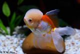 Goldfish DSC_7029