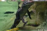 Crocodile DSC_6988