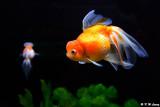 Goldfish DSC_7007