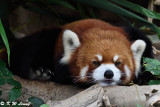 Red Panda DSC_7000