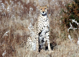 Cheetah stare.jpg