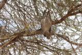 Verreauxs Eagle-Owl.JPG